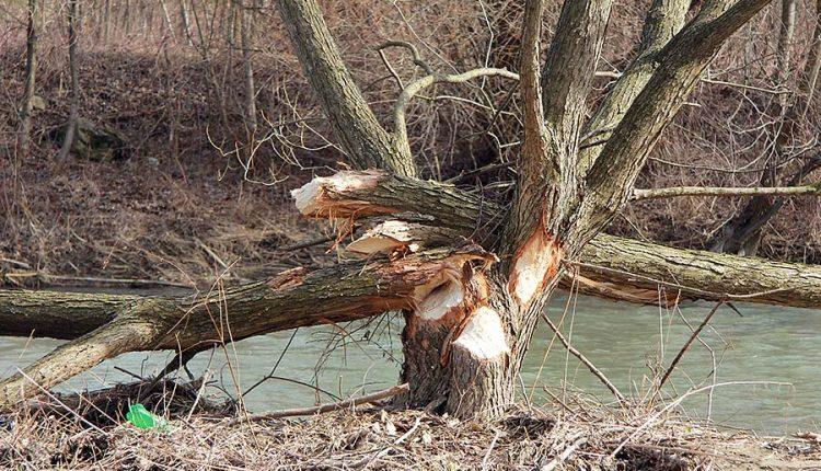V koryte Bielej vody v Púchove sa usadili bobry