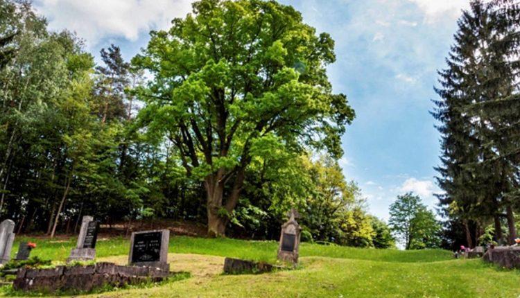 Tristoročná lipa vo Vieske možno bude chráneným stromom