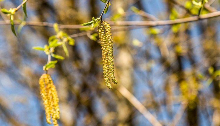 Začína oficiálny peľový monitoring – v ovzduší je už dosť peľu